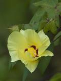 Darwin's Cotton (Gossypium Darwinii), Urbina Bay, Isabela Island, Galapagos Islands, Ecuador Fotografie-Druck von Gerald & Buff Corsi