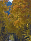 Aspen in the Fall, Populus Tremuloides, Inyo National Forest Photographic Print by Gerald & Buff Corsi