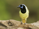 Green Jay (Cyanocorax Yncas), North America Photographic Print by John Cornell