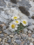 Ground or Tufted Townsend Daisy (Townsendia Scapigera) Photographic Print by Gerald & Buff Corsi