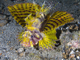 A Rare Yellow Variation of the Shortfin Lionfish (Dendrochirus Brachypterus) Photographic Print by Christopher Crowley