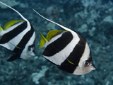 Pennant Bannerfish (Heniochus Chrysostomus), Hawaii, USA Photographic Print by David Fleetham