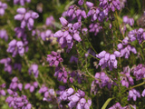 Bell Heather (Erica Cinerea), Scotland, UK Photographic Print by Gary Cook
