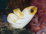 Golden Tunicate (Polycarpa Aurata), Raja Ampat, West Papua, Indonesia Photographic Print by Reinhard Dirscherl