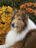 Collie with Rough Coat Photographic Print by Cheryl Ertelt