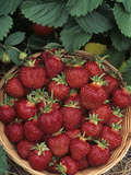 Strawberry (Cavendish Variety) Harvest in a Basket Photographic Print by Wally Eberhart
