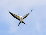 Swallow-Tailed Kite (Elanoides Forficatus) in Flight with Nesting Material in its Bill Photographie par John Cornell