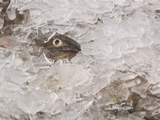 Cod in Ice Caught Off Ilulissat, Greenland Photographic Print by Ashley Cooper