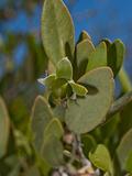 Jojoba (Simmondsia Chinensis), Joshua Tree National Park, California, Mojave Desert, USA Photographic Print by Buff & Gerald Corsi