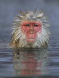Japanese Macaque Photographic Print by John Cornell