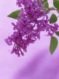 Lilac Flowers (Syringa X Hyacinthiflora), Asessippi Variety Photographic Print by Wally Eberhart
