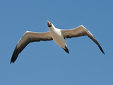 Nazca Booby in Flight (Sula Granti), Tower Island, Galapagos Islands, Ecuador Photographic Print by Gerald & Buff Corsi