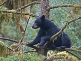 American Black Bear (Ursus Americanus) in a Tree, Tongass National Forest, Alaska, USA Photographic Print by Buff & Gerald Corsi