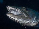 Great Barracuda, Tulamben, Bali, Indonesia Photographic Print by Reinhard Dirscherl