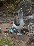 Blue-Footed Booby Courtship Display (Sula Nebouxii), North Seymour, Galapagos Islands, Ecuador Photographic Print by Gerald & Buff Corsi