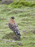 Red-Backed Hawk (Buteo Polyosoma), Antisana Ecological Reserve, Ecuador Photographic Print by Gerald & Buff Corsi