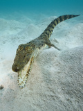 Saltwater Crocodile Swimming over the Sandy Sea Floor (Crocodylus Porosus), Micronesia, Palau Photographic Print by Reinhard Dirscherl