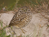 Burrowing Owl (Athene Cunicularia) Outside of the Burrow Photographic Print by John Cornell