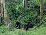 Chimpanzee Group (Pan Troglodytes), Ngamba Island Sanctuary, Uganda Photographic Print by Gary Cook