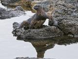 Marine Iguana (Amblyrhynchus Cristatus), Galapagos Islands, Ecuador Photographic Print by Gerald & Buff Corsi