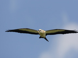 Swallow-Tailed Kite Flying and Hunting (Elanoides Forficatus) Photographic Print by John Cornell