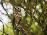 Short-Eared Owl (Asio Flammeus Galapagoensis), Santa Cruz Island, Ecuador Photographic Print by Gerald & Buff Corsi