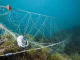 Fish Caught in a Lost Fishing Net over Reef, Cap De Creus, Costa Brava, Spain Photographic Print by Reinhard Dirscherl