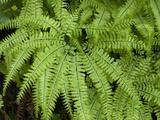 Five Finger Fern, Adiantum Aleuticum, Van Damme State Park, Northern California Coast, USA Photographic Print by Gerald & Buff Corsi