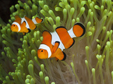 Clownfish (Amphiprion Percula), Alam Batu, Bali, Indonesia Photographic Print by Reinhard Dirscherl