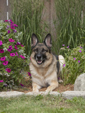 German Shepherd Dog, Lying in Garden Photographic Print by Cheryl Ertelt