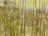 Close Up of Willow Stems and Flowers Photographic Print by Ashley Cooper
