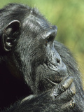 Chimpanzee Head (Pan Troglodytes), Ngamba Island Sanctuary, Uganda Photographic Print by Gary Cook