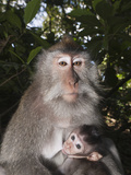 Longtailed Macaque with Baby (Macaca Fascicularis), Bali, Indonesia Photographic Print by Reinhard Dirscherl