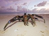Coconut Crab on a Bikini Atoll Beach (Birgus Latro), Marshall Islands, Micronesia, Pacific Ocean Photographic Print by Reinhard Dirscherl