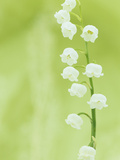 Wally Eberhart - Lily of the Valley Flowers (Convallaria Majalis), Eastern USA - Fotografik Baskı