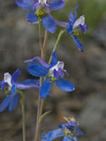 Anderson's Larkspur (Delphinium Andersonii), Great Basin National Park, Great Basin Desert, Nevada Photographic Print by Gerald & Buff Corsi