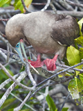 Red Footed-Booby (Sula Sula) Building a Nest, Tower Island, Galapagos Islands, Ecuador Photographic Print by Gerald & Buff Corsi