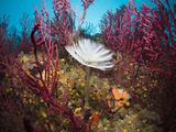 Spiral Tube Worm on a Coral Reef (Spirographis Spallanzani), Cap De Creus, Costa Brava, Spain Photographic Print by Reinhard Dirscherl