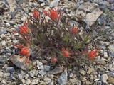 Northwestern Indian Paintbrush, Castilleja Angustifolia), Great Basin National Park, Nevada Photographic Print by Gerald &amp; Buff Corsi