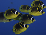 School of Raccoon Butterfly Fish (Chaetodon Lunula), Hawaii, USA Photographic Print by David Fleetham