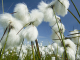 Cotton Grass Flowers Photographic Print by Ashley Cooper