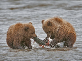 Brown Bear Cubs (Ursus Arctos) Eating Salmon Prey, Silver Salmon Creek, Lake Clark National Park Photographic Print by Buff & Gerald Corsi