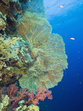 Sea Fan and Soft Corals (Supergorgia), Elphinestone Reef, Red Sea, Egypt Photographic Print by Reinhard Dirscherl