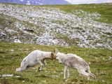 Two Dall Sheep Rams Crash Horns as Part of a Dominance Display (Ovis Dalli), Denali National Park Photographic Print by Patrick Endres