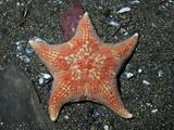 Leather Star (Dermasterias Imbricata), Seward, Alaska, USA Photographic Print by Buff & Gerald Corsi
