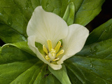 Giant Trillium (Trillium Chloropetalum) Is Native to California Photographic Print by Gerald &amp; Buff Corsi