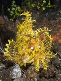 Yellow Weedy Scorpionfish (Rhinopias Frondosa), Alam Batu, Bali, Indonesia Photographic Print by Reinhard Dirscherl
