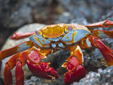 Sally Lightfoot Crab (Grapsus Grapsus), Playa Las Bachas, Santa Cruz Island, Galapagos Islands Fotodruck von Gerald & Buff Corsi