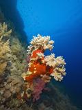 Coral Reef, Daedalus Reef, Red Sea, Egypt Photographic Print by Reinhard Dirscherl