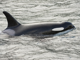 The Orca or Killer Whale (Orcinus Orca), Johnstone Strait, Vancouver Island, British Columbia Photographic Print by Buff & Gerald Corsi